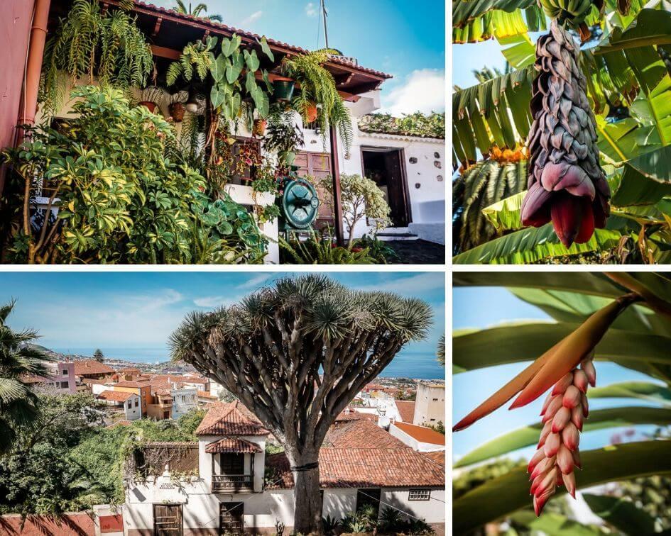 Teneriffa Sehenswürdigkeiten La Orotava Natur Drachenbam Bananen