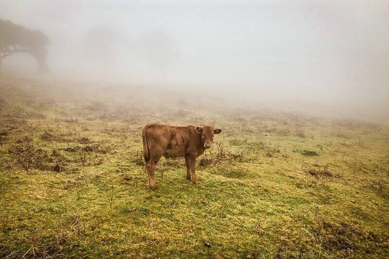 Portugal Madeira Fanal Kuh Rind Hochebene Wandern