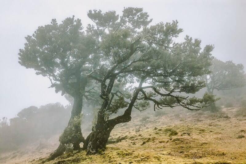 Portugal Madeira Fanal Lorbeerbäume Wandern
