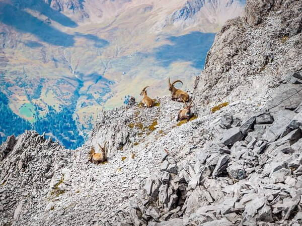 Alpe Adria Trail Steinböcke Vinschgau Piz Lad