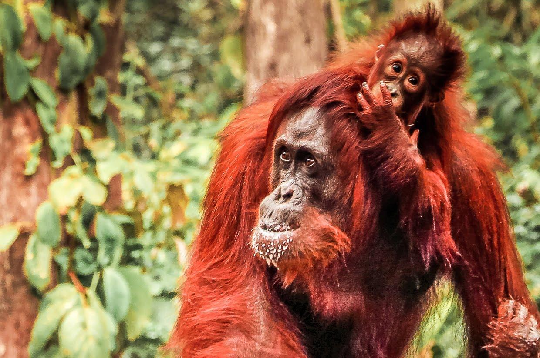 Borneo Orang Utan Tanjung Puting National Park