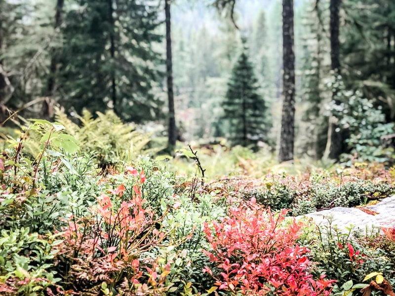 Herbstfarben in den Blaubeersträuchern in der Großfragant im Mölltal