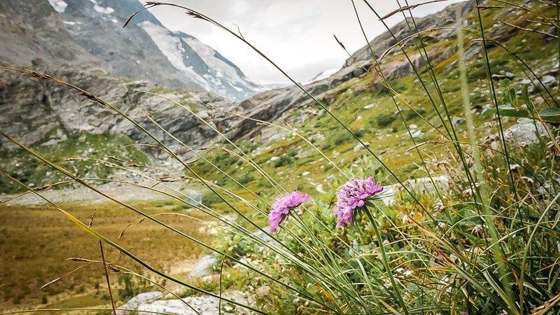 Hohe Tauern Bergblumen Großglockner Alpe Adria Trail