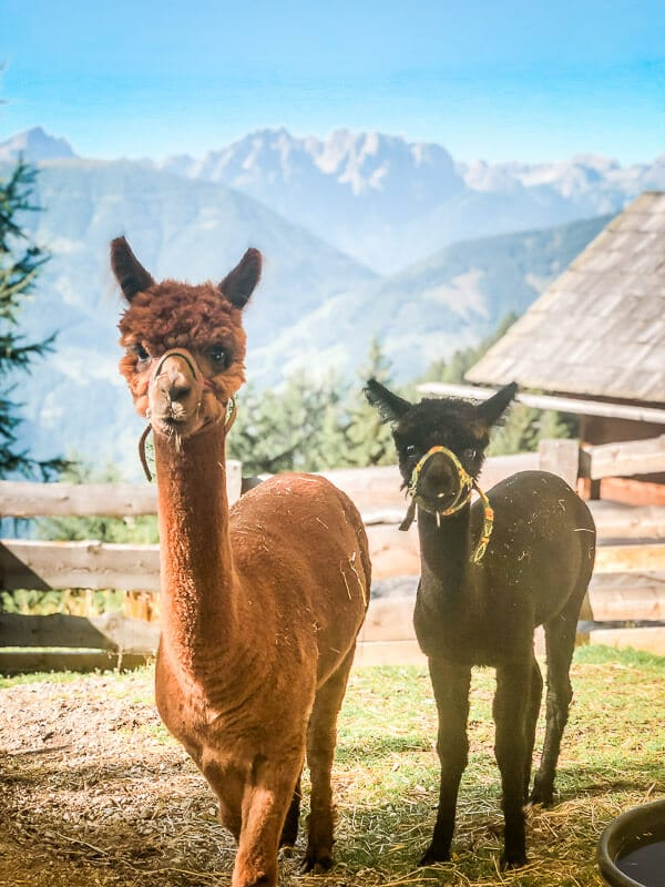 Hohe Tauern Alpakas Rangersdorfer Hütte Alpe Adria Trail