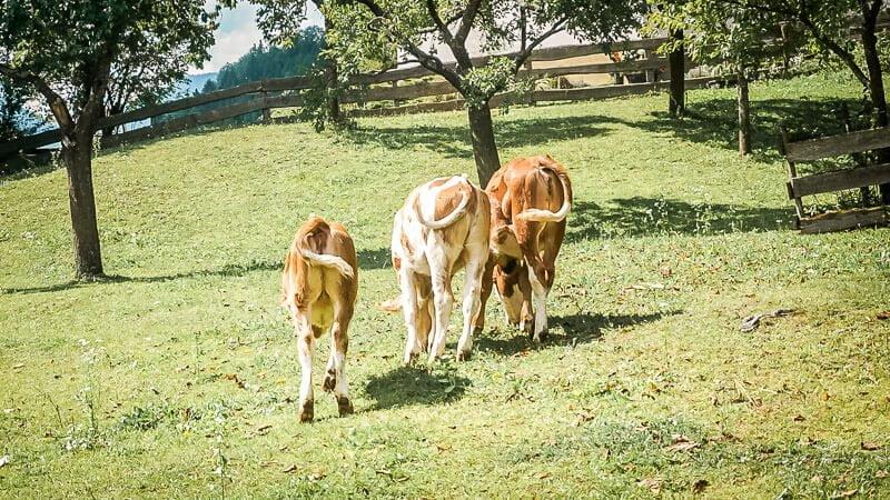 Kühe im Mölltal Alpe Adria Trail Etappe 4