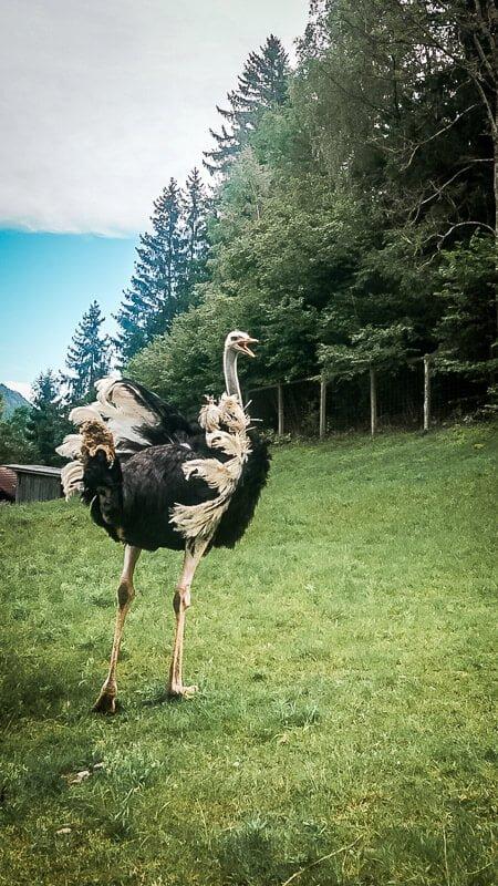 Mallnitz Wilder Straußenvogel auf Etappe 9 Alpe Adria Trail