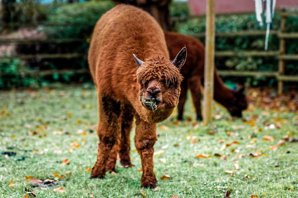 Alpaka frisst Gras