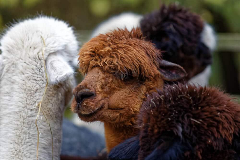 Alpaka Herde auf Daniels Kleiner Farm in Castrop-Rauxel