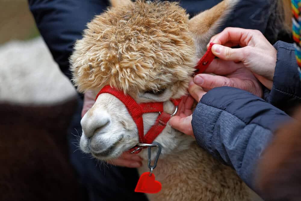 Ein Alpaka bekommt sein Halfter bei Daniels Kleine Farm