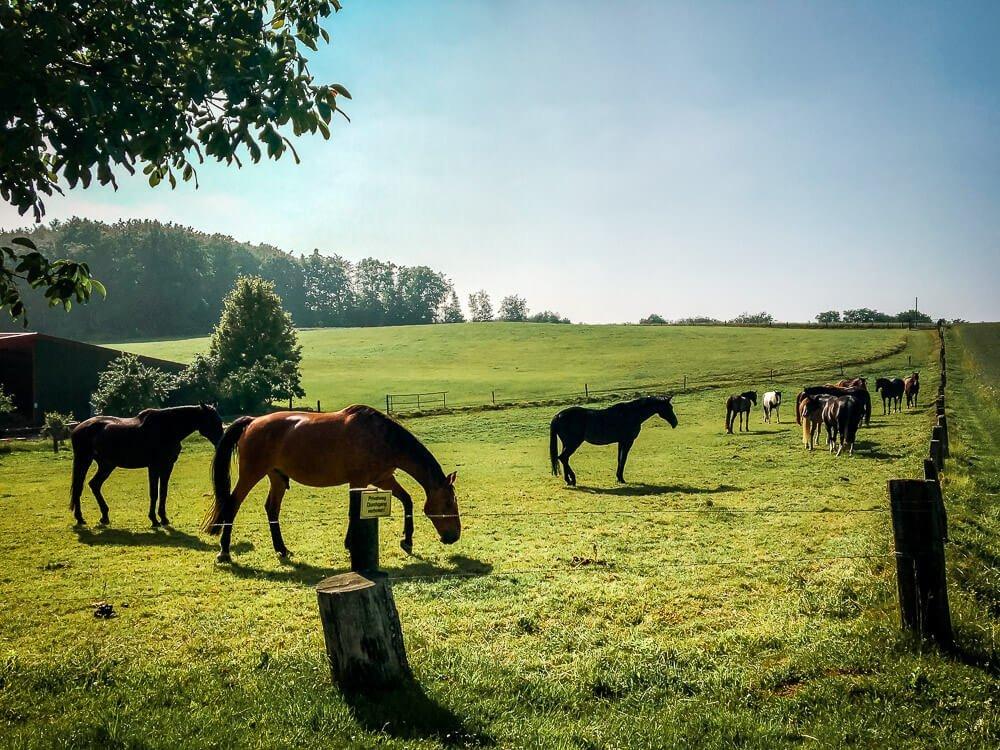 Pferde bei einer Wanderung in Essen Kettwig im Ruhrgebiet