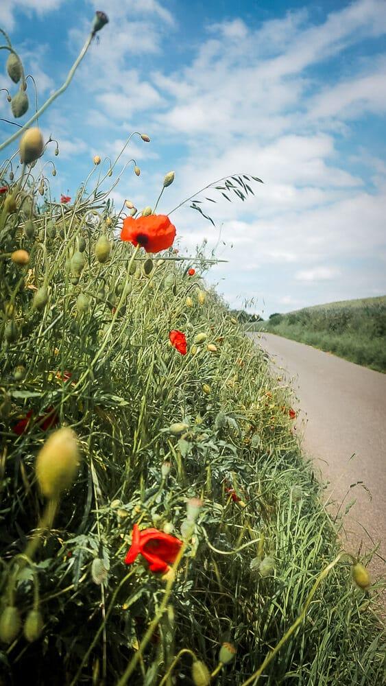 Mohnblumen an einem Feldweg im Ruhrgebiet