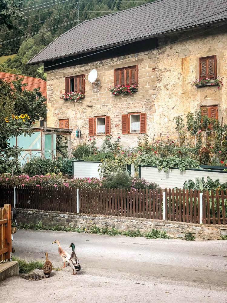 Enten auf der Straße im Bergbauerndorf Altersberg in Kärnten