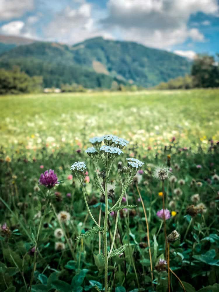 Bergblumenwiese auf dem Weg nach Seeboden am Millstätter See
