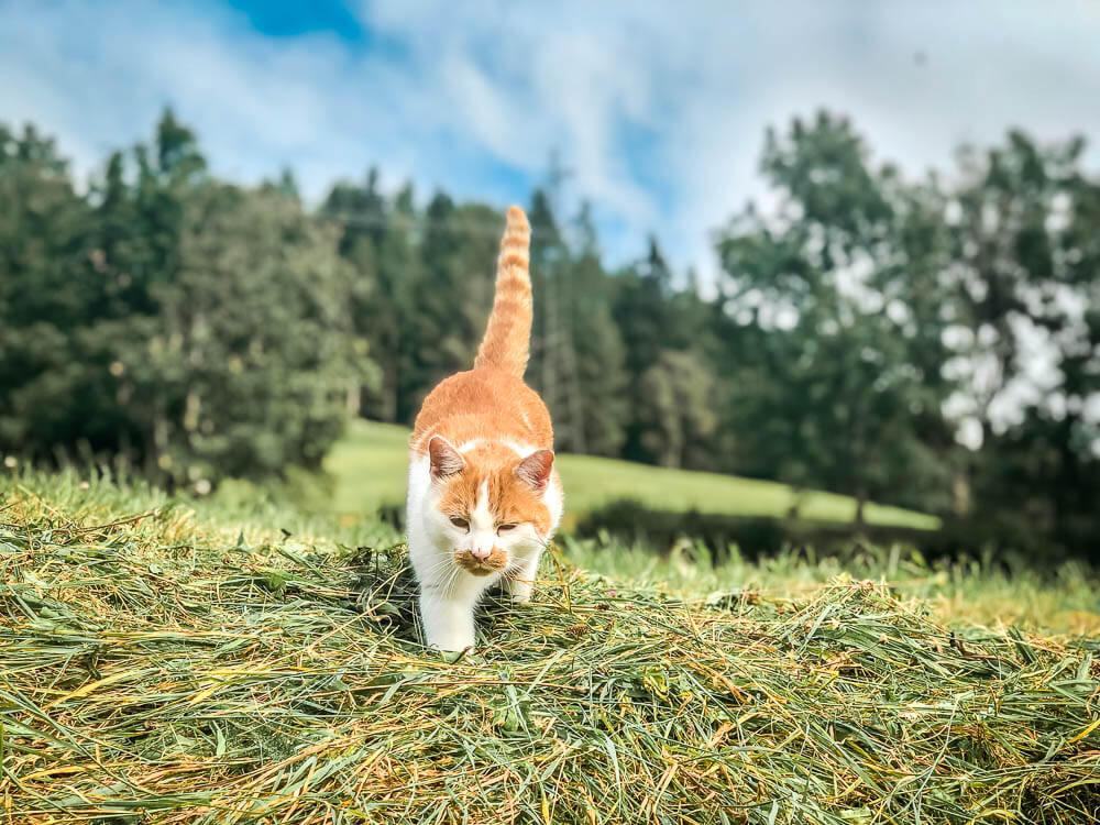 Katze im Heu auf Alpe Adria Trail Etappe 10
