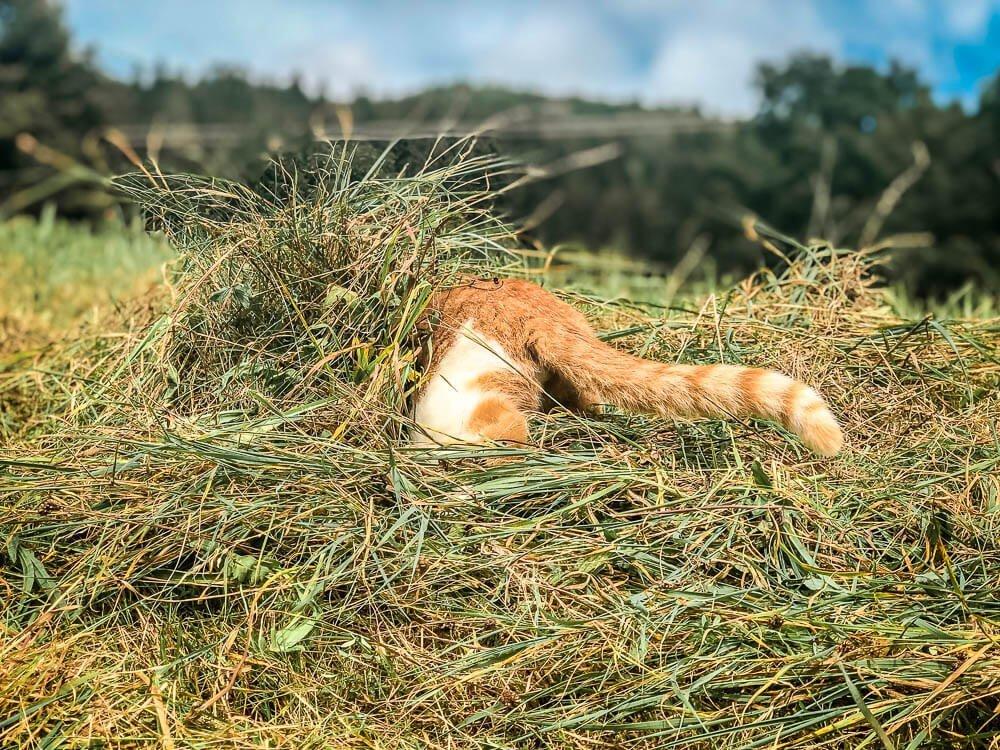 Katze versteckt sich im Heu