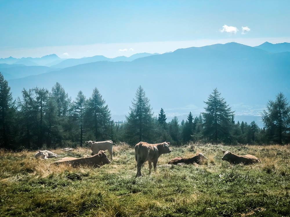Kühe weiden oberhalb des Millstätter Sees
