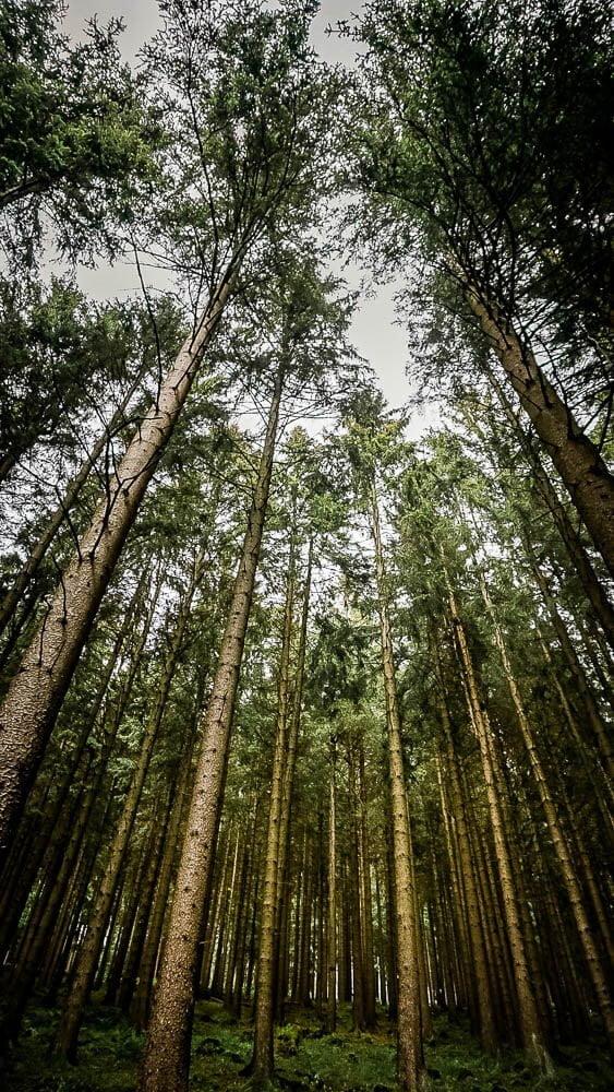 Hohe Tannenbäume im Sauerland auf dem Kahler-Asten-Steig