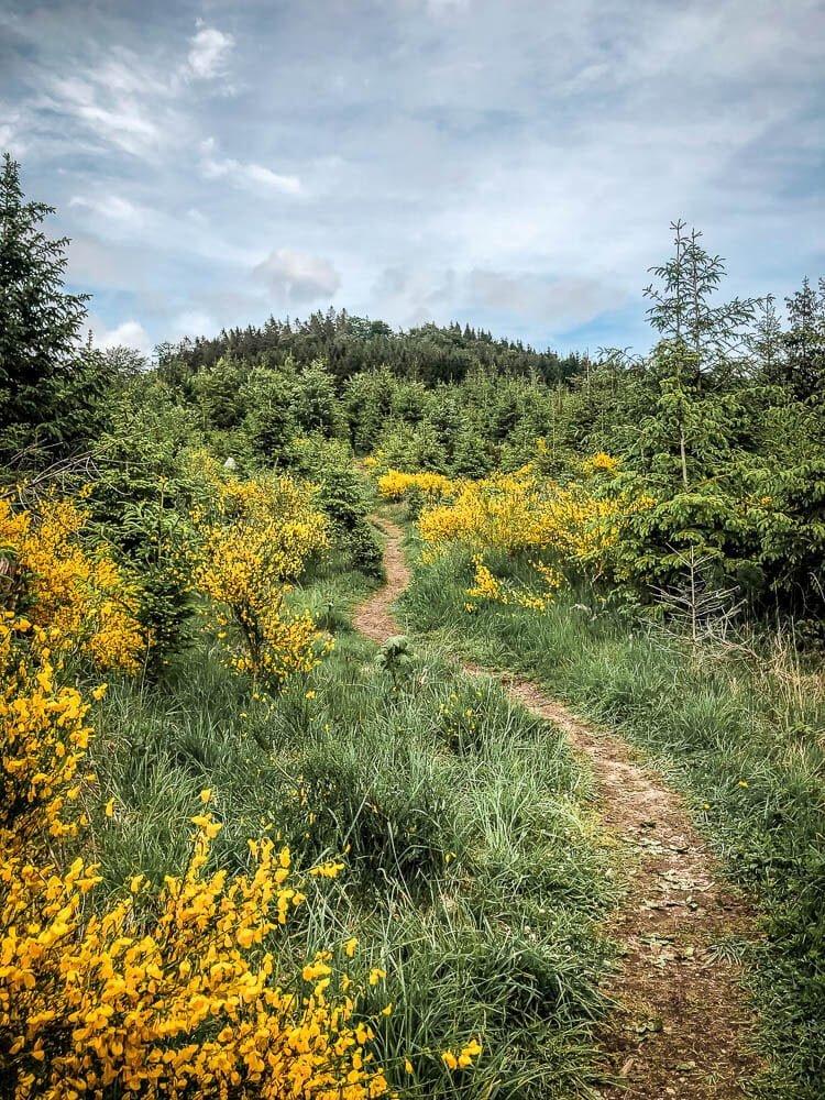 Wandern im Sauerland auf einem Waldpfad mit Ginster und Fichten am Hohen Knochen