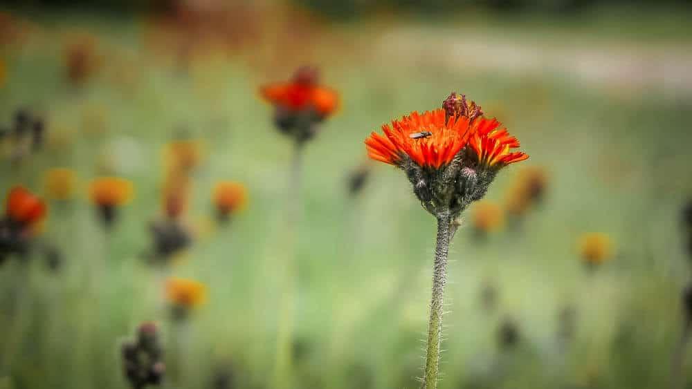Wildblume auf der Rothaarsteig-Spur Kahler-Asten-Steig