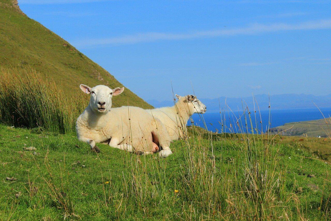 Schafe in der Graslandschaft der Isle of Skye