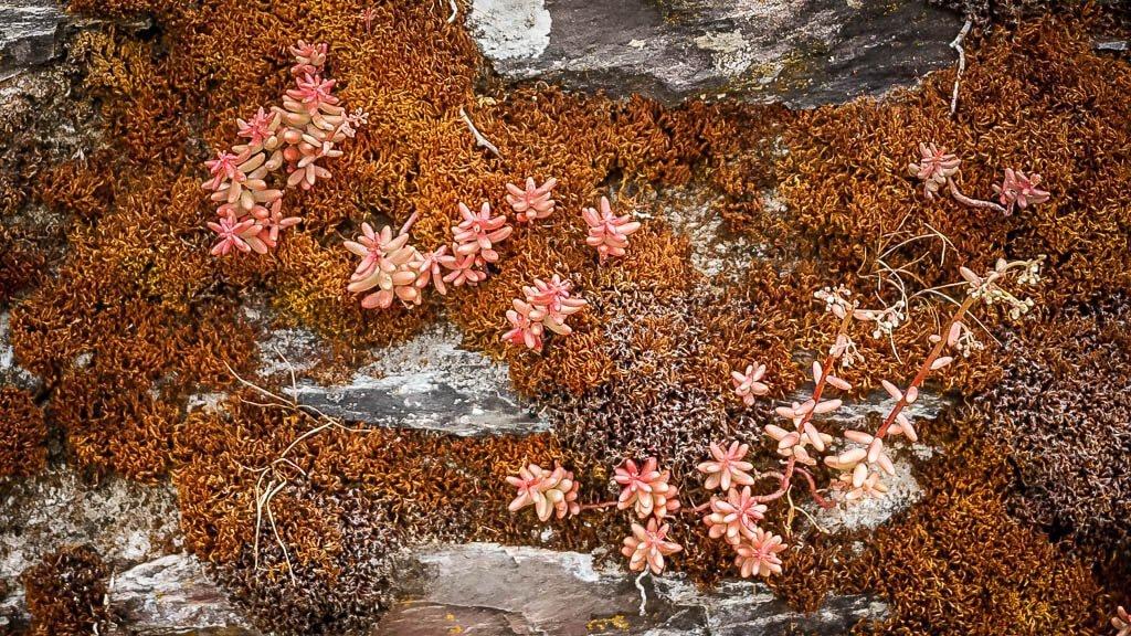 Flechten wachsen an den Mauern der Weinberge in Traben-Trarbach