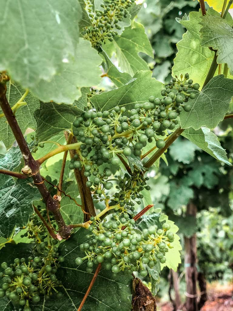 Blühende Weinrebe an der Mosel in Traben-Trarbach