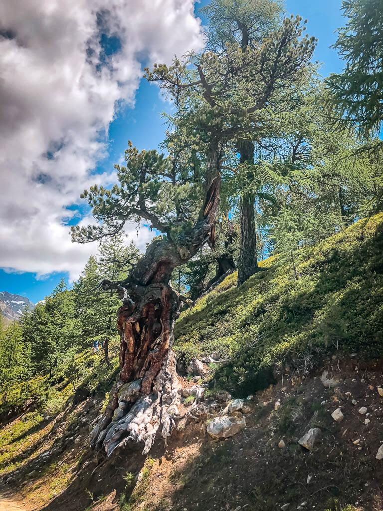 Arven- und Lärchenwälder bei Zermatt auf dem Weg zur Sunnegga Bergstation