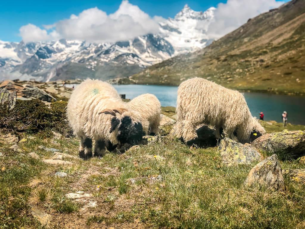 Walliser Schwarznasenschafe grasen am Stellisee in Zermatt