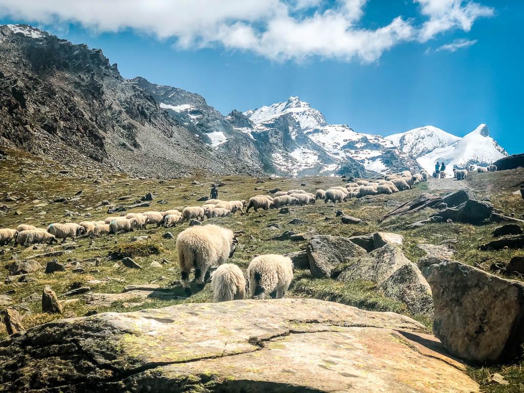 Zermatt - Herde Walliser Schwaznasenschafe zieht vom Stellisee zur Fluhalp