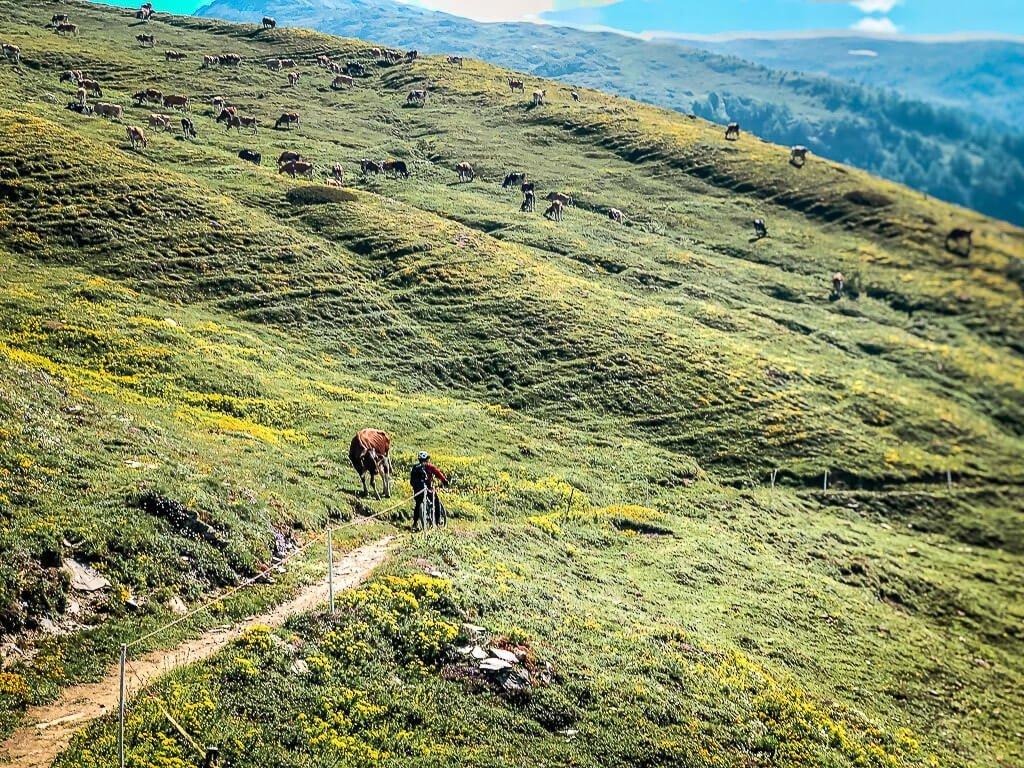 Leukerbad Biken - Mountainbiker begegnet Kühen auf dem Torrenttrail