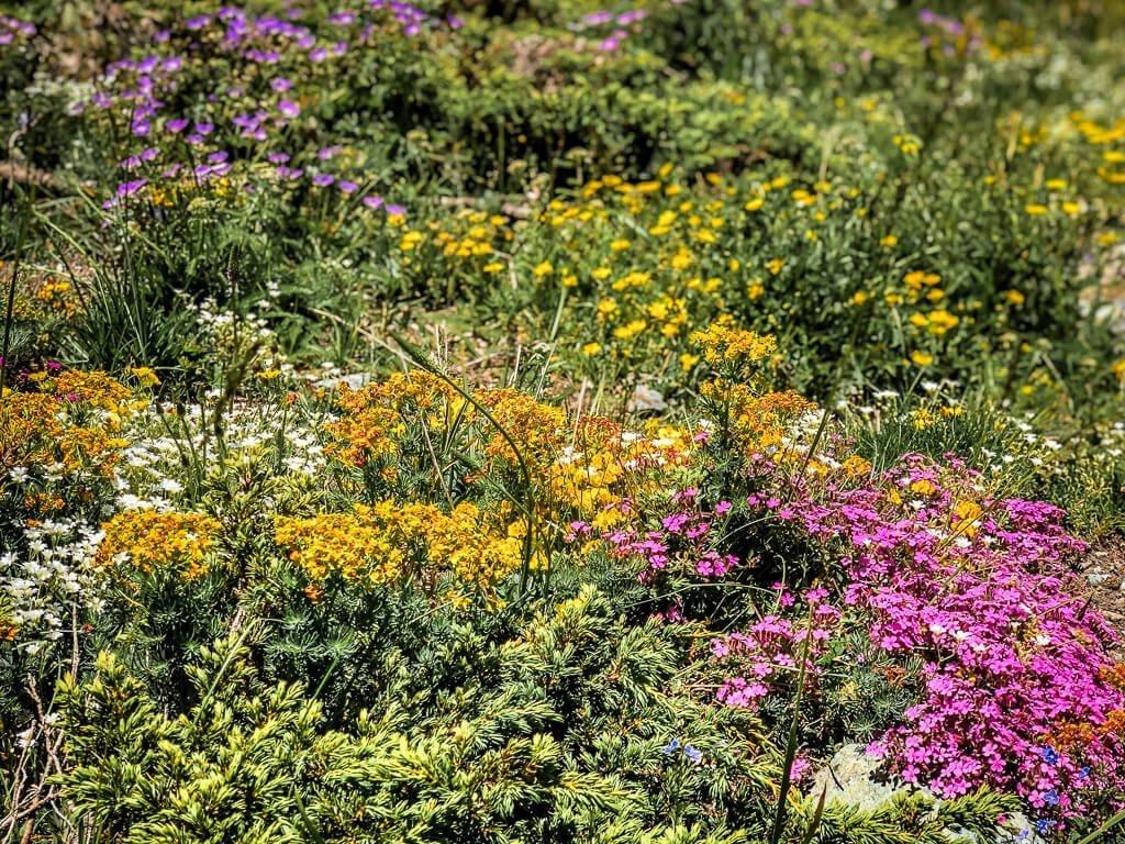 Wilde Alpenblumen in ihrer Farbenpracht auf dem Torrenttrail in Leukerbad
