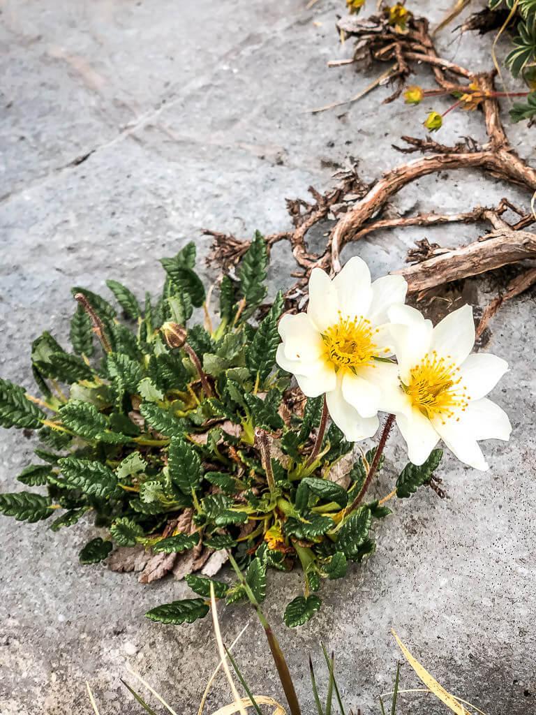 Alpenblumen am Gemmipass in Leukerbad