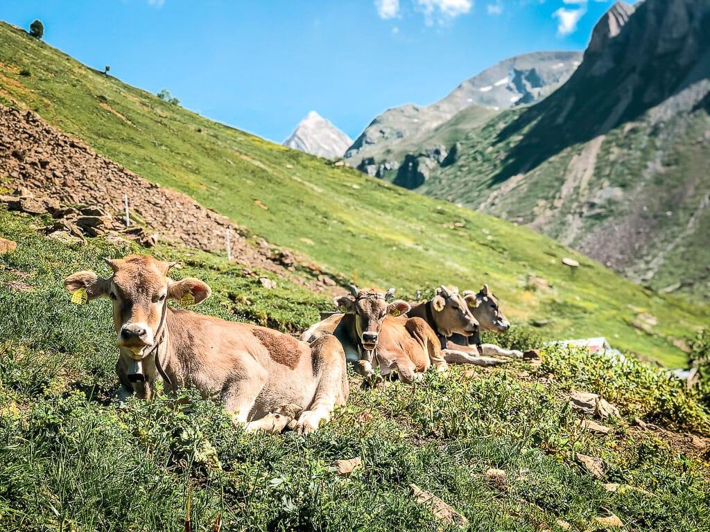 Kühe auf einer Almwiese bei Leukerbad auf dem Torrent Trail