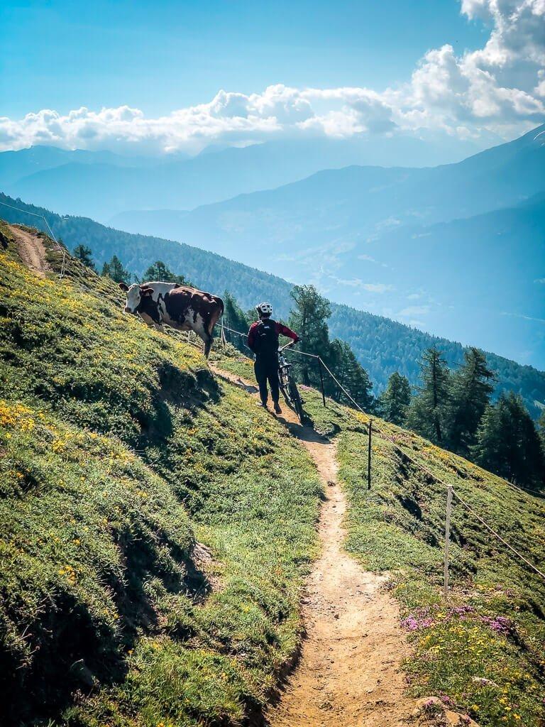 Leukerbad Biken auf dem Torrenttrail - Mountainbiker mit Kuh
