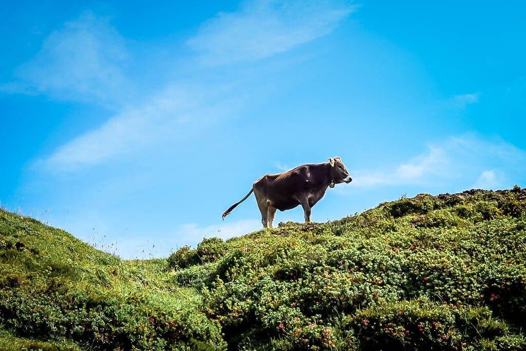 Kuh auf dem WaiWi an der Wintersteller Alm im Pillerseetal