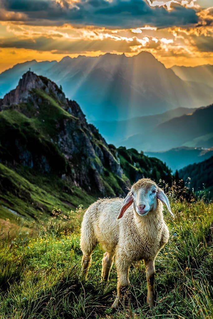 Schaf im Sonnenaufgang auf der Henne in den Kitzbüheler Alpen