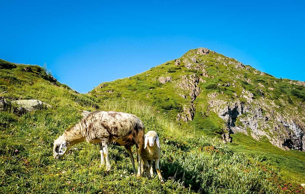 WaiWi Wanderweg - Schafe auf dem Weg zum Wildseeloderhaus im Pillerseetal