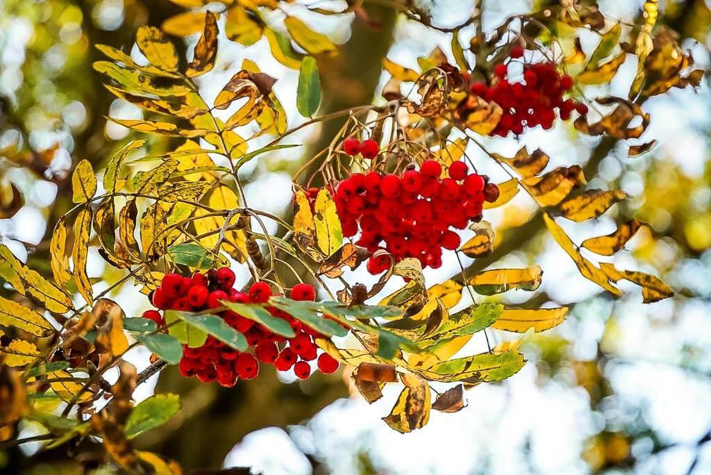 Vogelbeereen und Herbstfarben auf der Grünes Band Tour im Naturpark Südharz