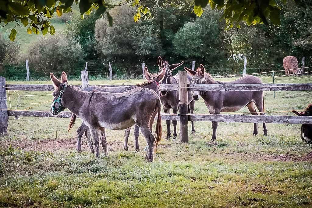 Esel auf der Weide des Ferienhotels Wolfsmühle in Rodishain im Südharz