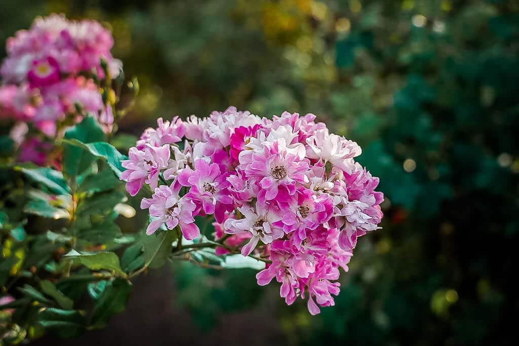 Eine der 8.600 Rosenarten im Europa Rosarium in Sangerhausen