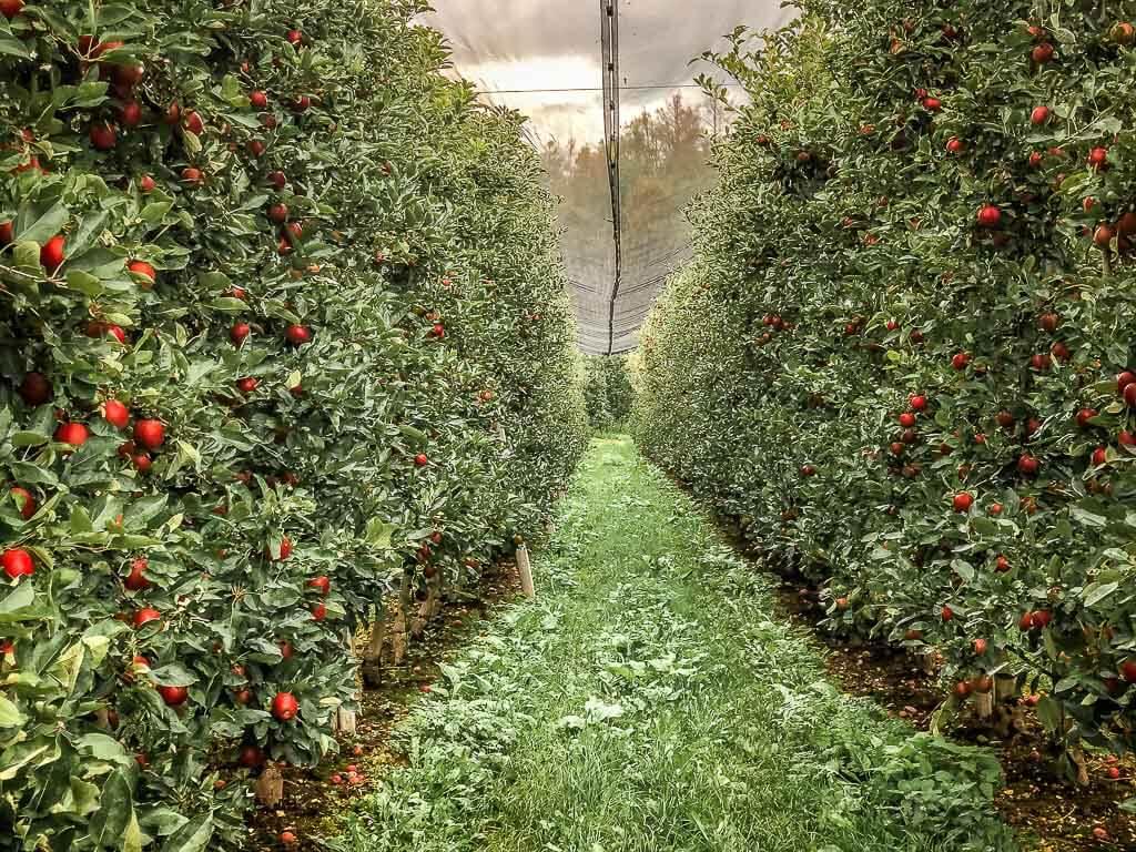 Apfelplantage bei Tisens auf dem Weg von Meran zum Gardasee