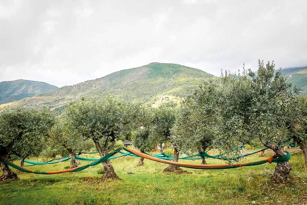 Olivenhaine im Hinterland des Cilento bei Casal Velino Paese