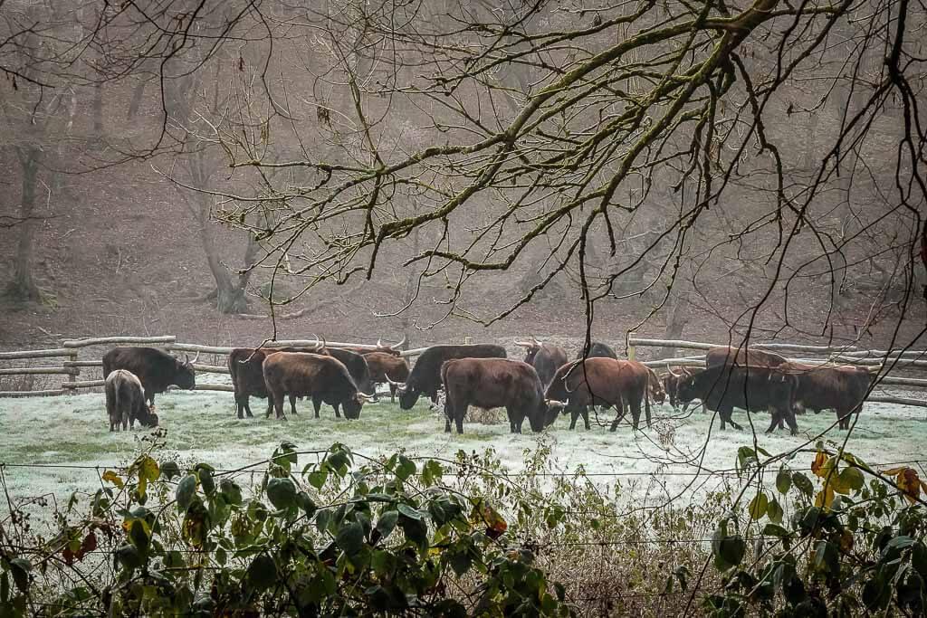 Herde Auerochsen im Eiszeitlichen Wildgehege Neandertal