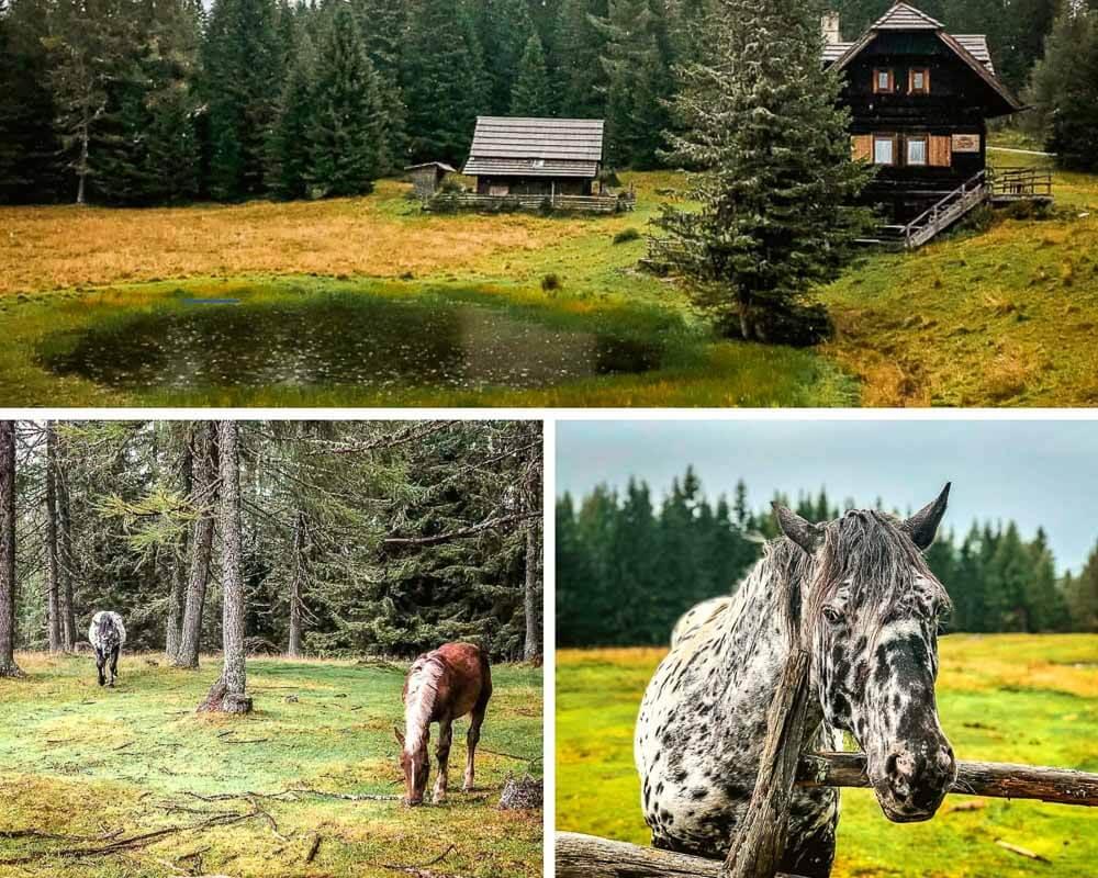 Nockberge wandern auf dem Weg zur Gerlitzen mit wilden Pferden im Wald