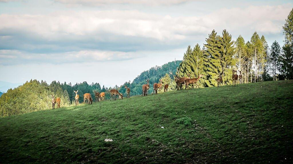 Wild und Hirsch im Wildgehege der Baumgartnerhöhe in Kärnten