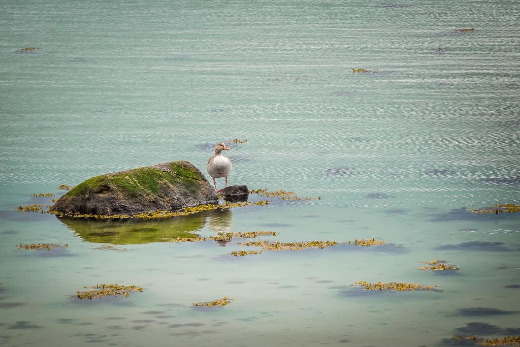 Ente an der Schleimündung bei Maasholm