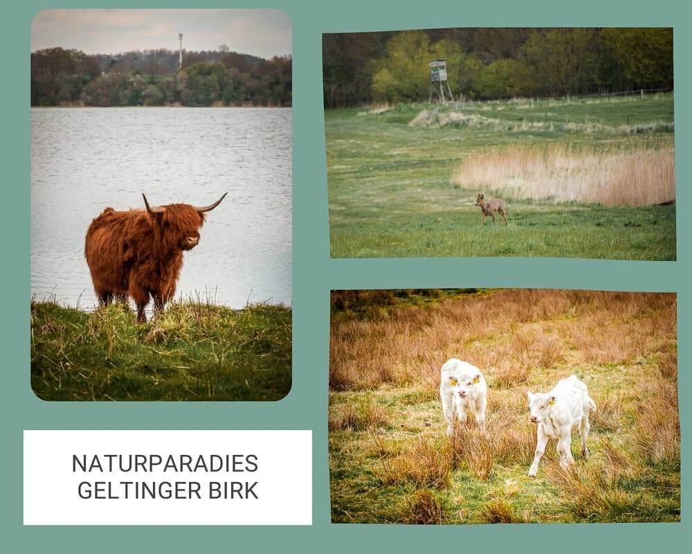 Galloway Rinder und Damwild im Naturschutzgebiet Geltinger Birk am Ostseefjord Schlei