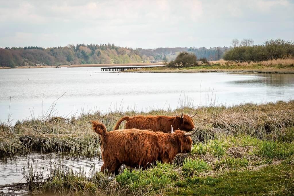 Galloway Rinder am Haddebyer Noor am Ostseefjord Schlei