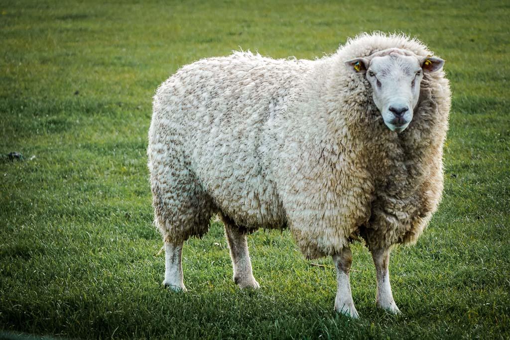 Schaf am Ostseefjord Schlei