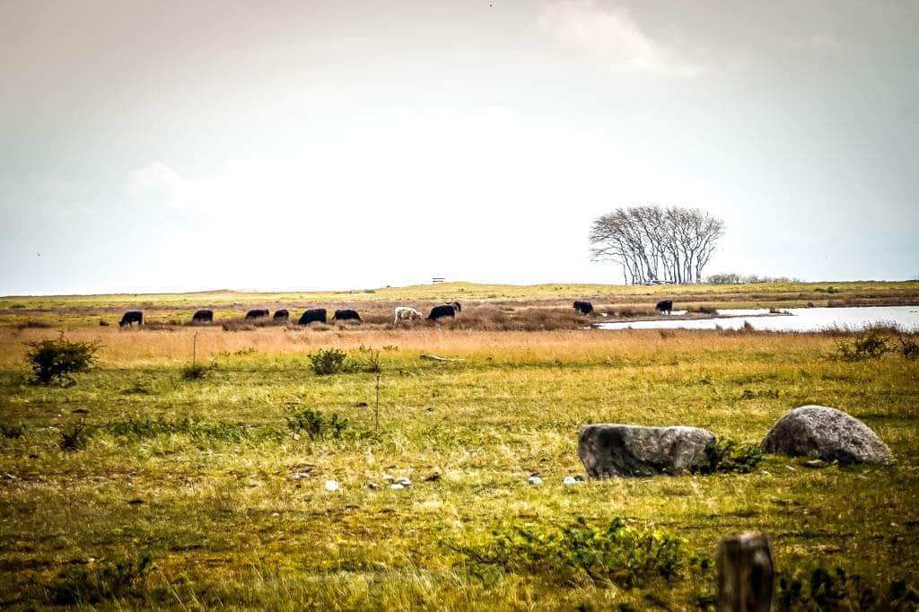 Wasserbüffel weiden im Naturschutzgebiet Schleimünde bei Maasholm.